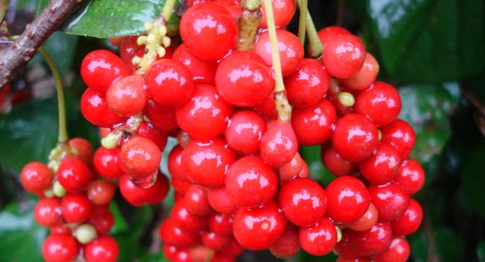 schizandra_berries